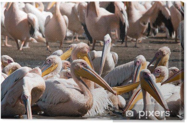 Obraz na płótnie Great White pelikany w wodzie - Afryka