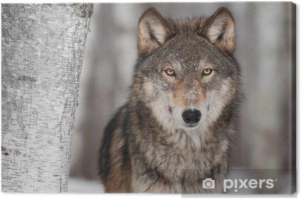 Obraz na płótnie Grey Wolf (Canis lupus) Obok Birch Tree - Style
