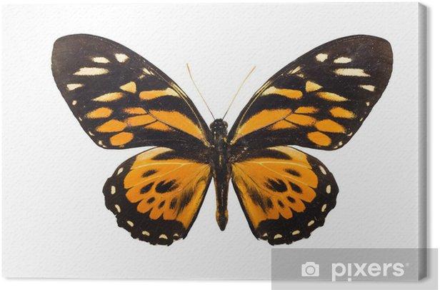 Obraz na płótnie Harmonia motyl Tithorea - Inne Inne