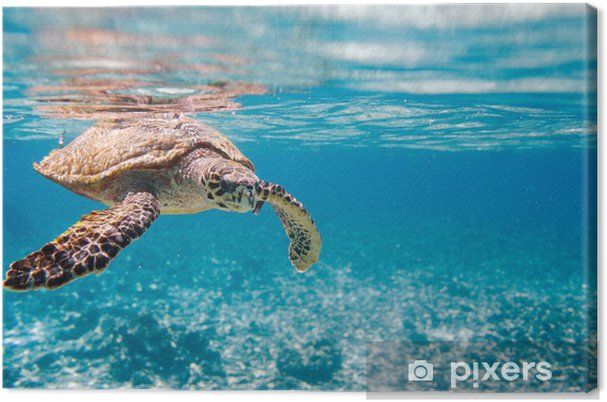 Obraz na płótnie Hawksbill Sea Turtle - Inne Inne