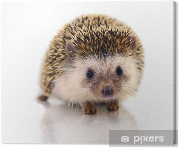 Obraz na płótnie Hedgehog wyizolować na białym tle - Ssaki