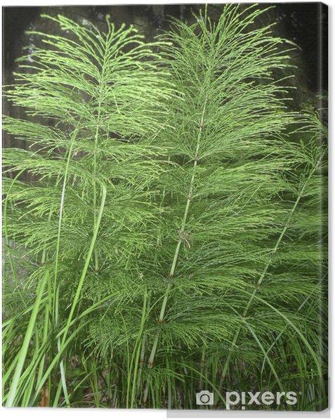 Obraz na płótnie Herb - skrzyp - Rośliny