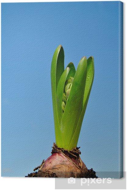 Obraz na płótnie Hiacynt - Kwiaty