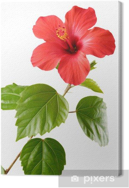 Obraz na płótnie Hibiskus czerwony - Kwiaty