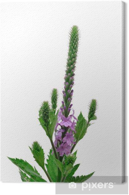 Obraz na płótnie Hoary Vervain (Verbena stricta) Wildflower - Kwiaty