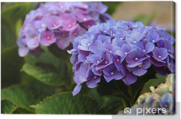 Obraz na płótnie Hortensja na Azorach - Kwiaty