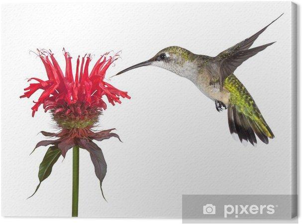 Obraz na płótnie Hummingbird i Monarda - Ptaki