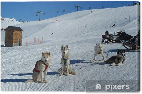 Obraz na płótnie Huskies - Sporty zimowe