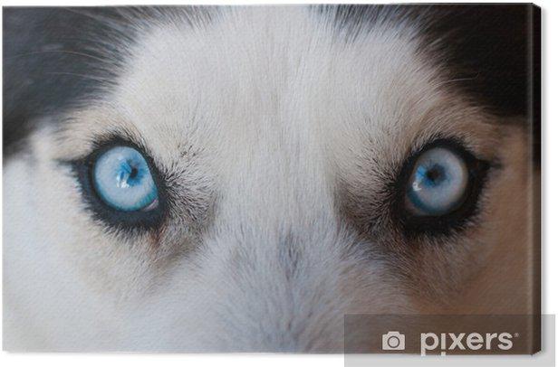 Obraz na płótnie Husky niebieskie oczy - Husky