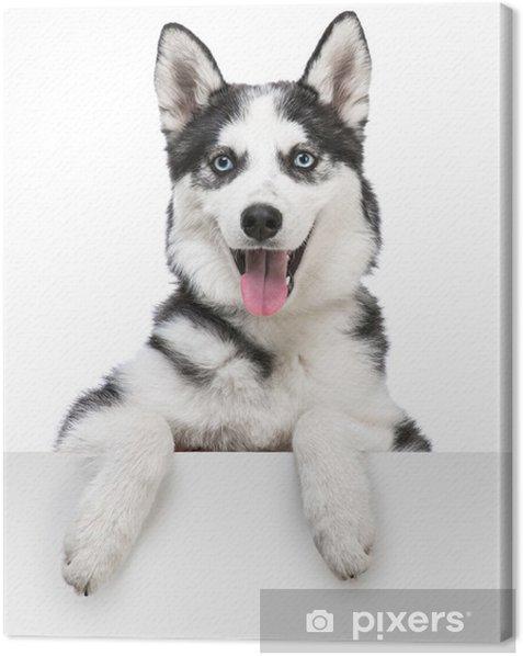 Obraz na płótnie Husky pies portret ponad biały - Psy