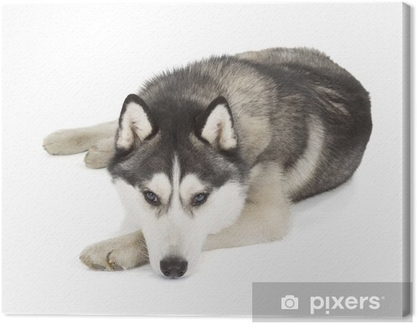Obraz na płótnie Husky syberyjski - Ssaki