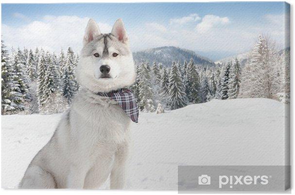 Obraz na płótnie Husky w zimie - Husky