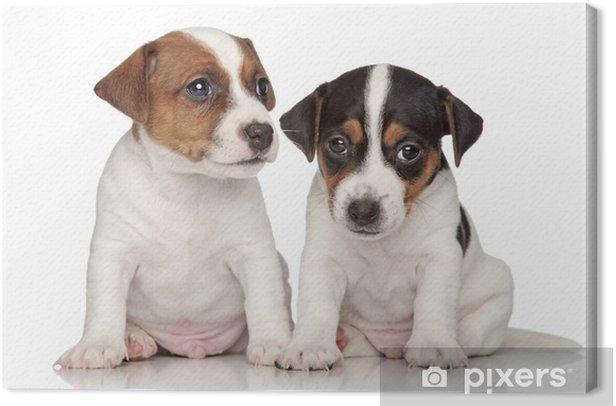 Obraz na płótnie Jack Russell Terrier szczeniaki - Ssaki