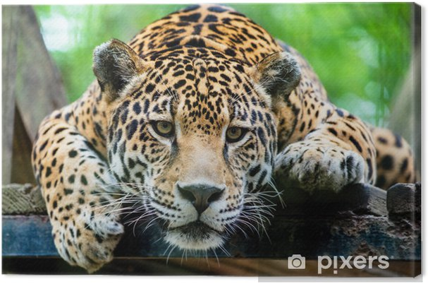 Obraz na płótnie Jaguar Ameryki Południowej - Tematy