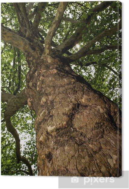 Obraz na płótnie Jesion wyniosły (Fraxinus excelsior) - widok od dołu do góry - Drzewa