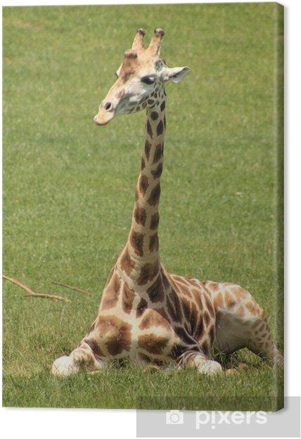 Obraz na płótnie Jirafa. Giraffa Żyrafy. - Tematy