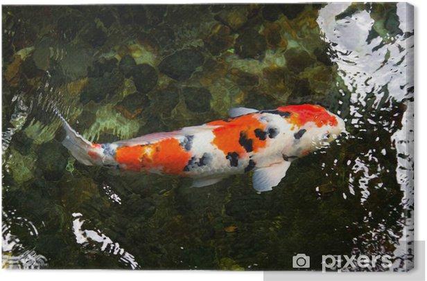 Obraz na płótnie Karp koi - Zwierzęta żyjące pod wodą