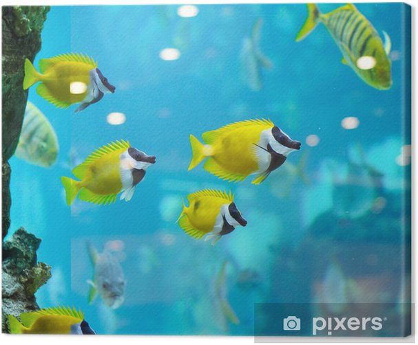 Obraz na płótnie Kilka Foxface ryby - Zwierzęta żyjące pod wodą