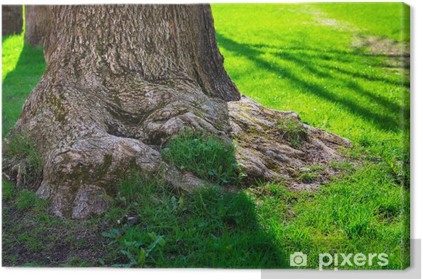 Obraz na płótnie Kłącze duży stary dąb i zielony trawnik - Pory roku