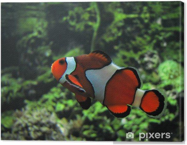 Obraz na płótnie Klaun ryb. nazwa naukowa: amphiprion ocellaris. kolor obrazu - Zwierzęta żyjące pod wodą
