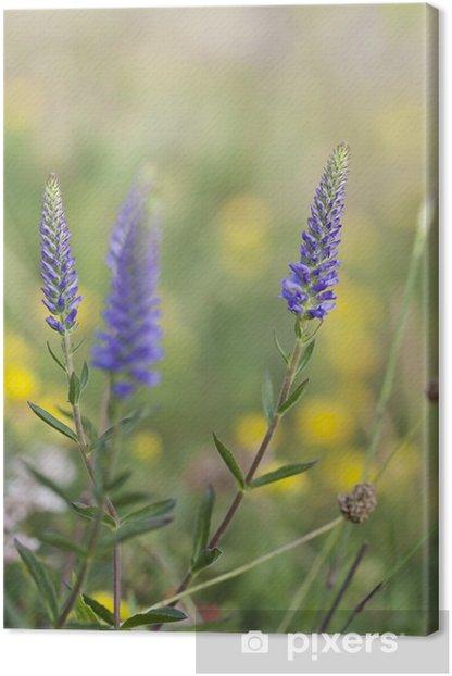 Obraz na płótnie Kolczasty przetacznik Veronica spicata, Scrophulariaceae - Kwiaty