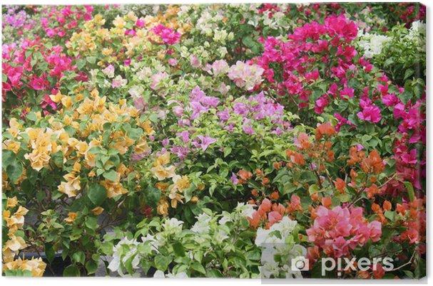 Obraz na płótnie Kolorowe bougainvilleas - Kwiaty