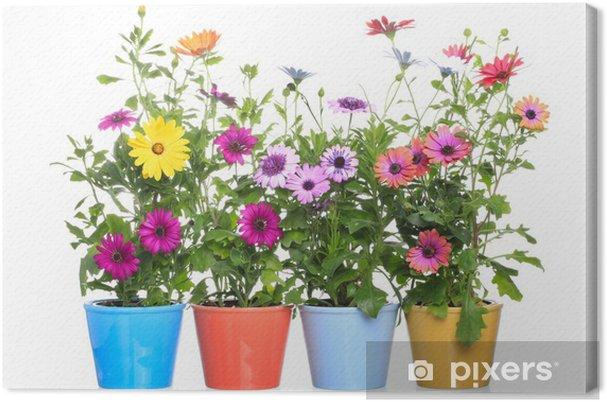 Obraz Na Płótnie Kolorowe Doniczki Z Colorfull Gerbery Dimorphoteca Kwiat