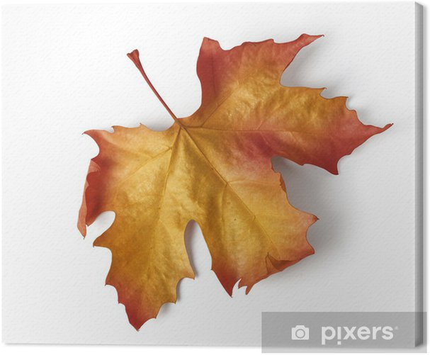 Obraz na płótnie Kolorowe jesienią liść klonu - Rośliny
