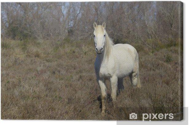 Obraz na płótnie Koń Camargue - Ssaki