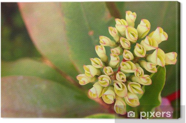 Obraz na płótnie Korona cierniowa lub kwiat thorn Chrystusa - Kwiaty