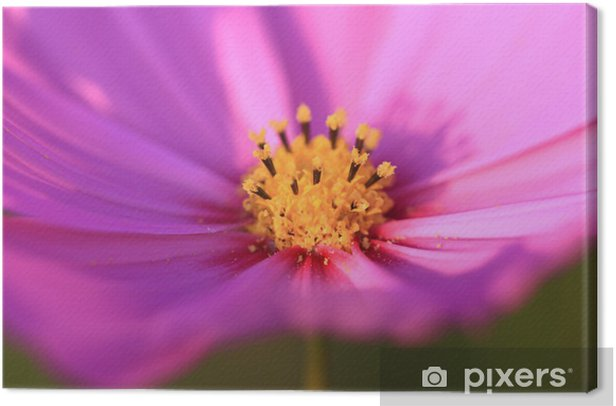 Obraz na płótnie Kosmos - Kwiaty