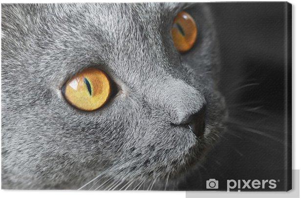 Obraz na płótnie Kot brytyjski krótkowłosy niebieski szczegółowo - Tematy