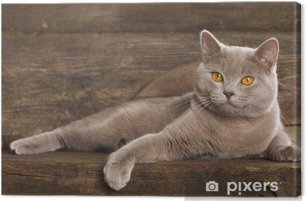 Obraz Na Płótnie Kot Brytyjski Rzadko Kolor Liliowy Pixers