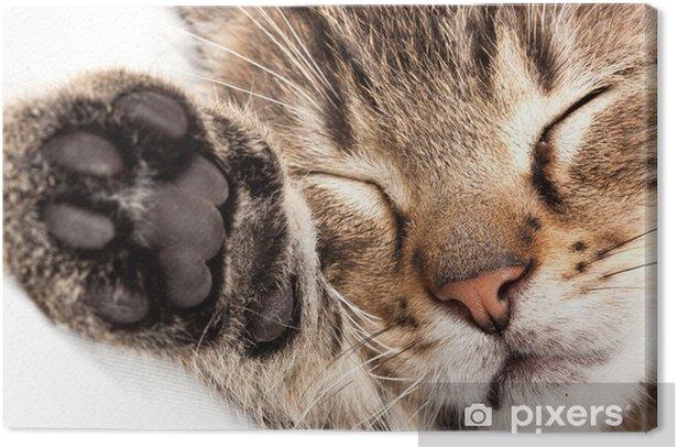 Obraz na płótnie Kot śpi - Ssaki