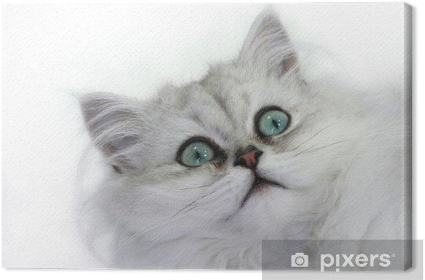 Obraz na płótnie Kotek persan szynszyli - Ssaki