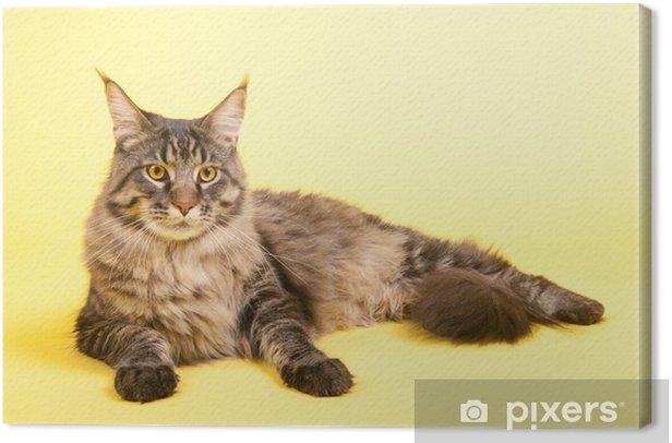 Obraz na płótnie Kotów maine coon na pastelowy żółty - Tematy