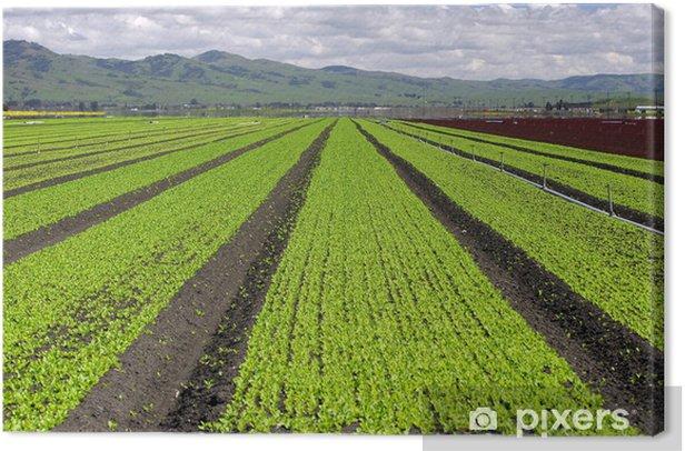 Obraz na płótnie Krajobraz pole sałaty - Rolnictwo