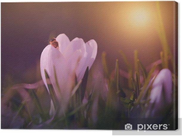 Obraz na płótnie Krokus kwiat w słońca - Kwiaty