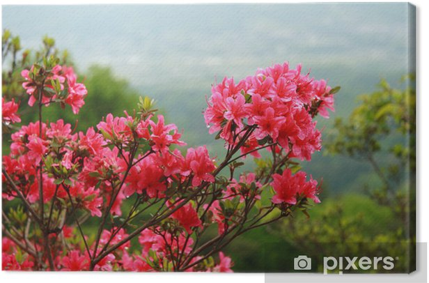 Obraz na płótnie Kwiat azalia - Kwiaty