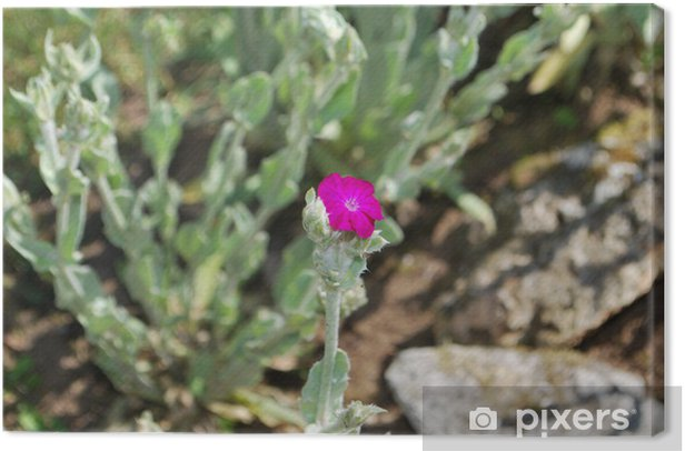 Obraz na płótnie Kwiat goryczki - Kwiaty