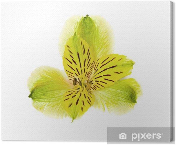 Obraz na płótnie Kwiat orchid samodzielnie na białym tle. - Kwiaty