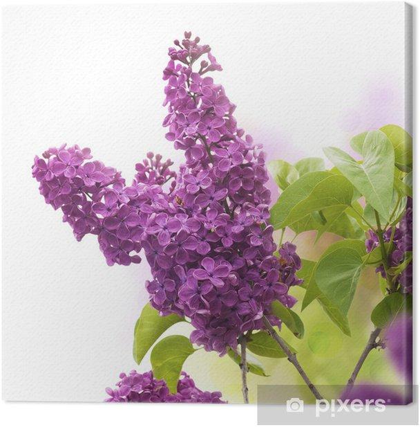 Obraz na płótnie Kwiaty bzu wiosną - fleurs de lilas au printemps - Kwiaty