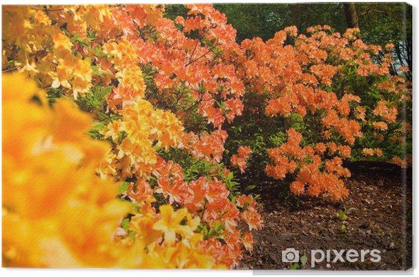 Obraz na płótnie Kwiaty krzewów różaneczników wczesną wiosną - Kwiaty