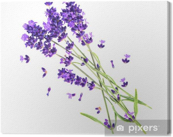 Obraz na płótnie Kwiaty lawendy samodzielnie na białym tle - Kwiaty