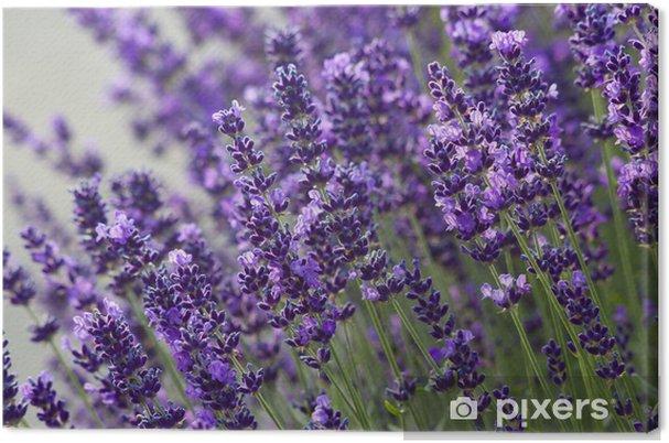 Obraz na płótnie Kwiaty lawendy - Tematy