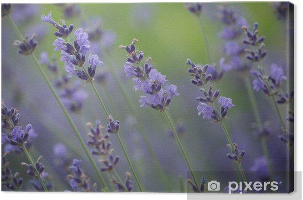 Obraz na płótnie Kwiaty lawendy - Rośliny