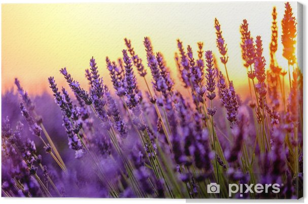 Obraz na płótnie Kwitnąca lawenda w polu o zachodzie słońca w prowansji, francja - Przemysł