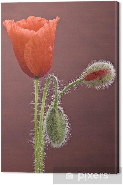 Obraz na płótnie Kwitnąca mak. - Kwiaty