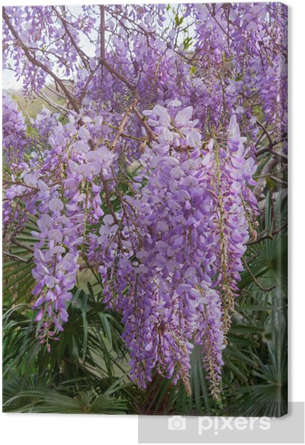 Obraz na płótnie Kwitnienie wisteria - Rośliny