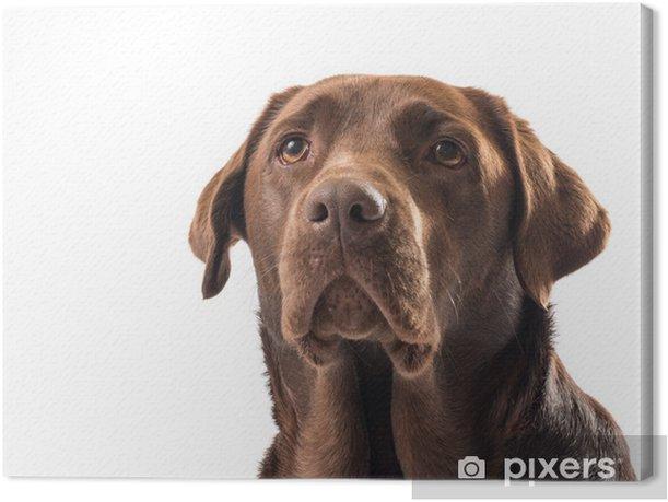 Obraz na płótnie Labrador czekoladowe - Ssaki